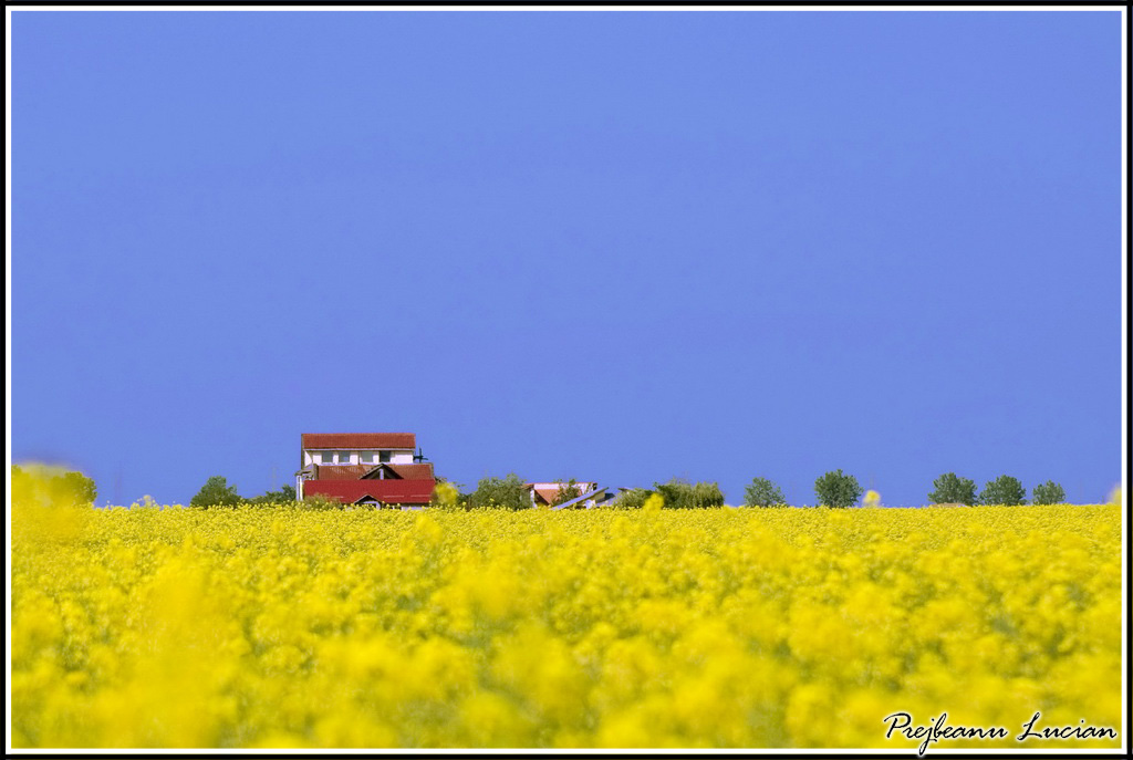 canola_field_house